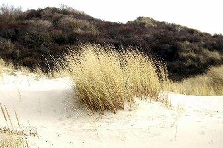 Las plantas nativas ayudan a que las dunas no se vuelen con el viento.