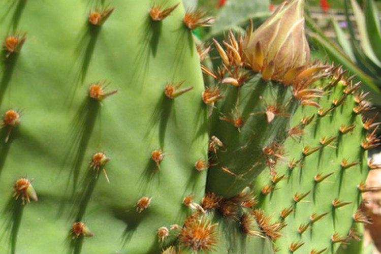 La fruta de la Opuntia streptacantha fue un ingrediente importante en los colorantes alimentarios.