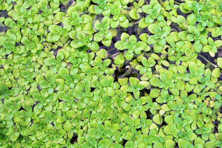 La introducción de plantas vivas al acuario ayudará a reducir el nivel de nitritos.