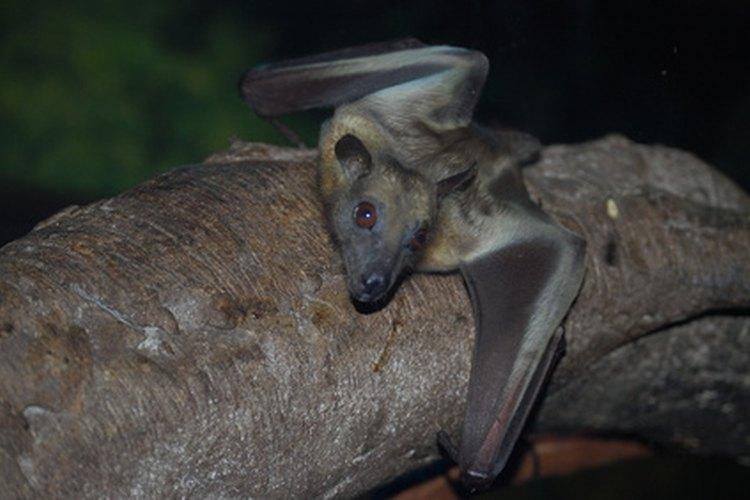 Los murciélagos cazan por la noche consumiendo muchos insectos molestos.