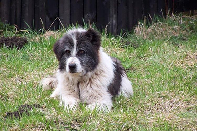 Los perros con anemia tienen menores niveles de energía de lo normal.