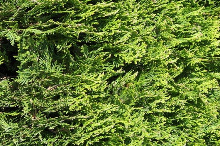 La thuja es sólo un tipo de planta perenne enana.