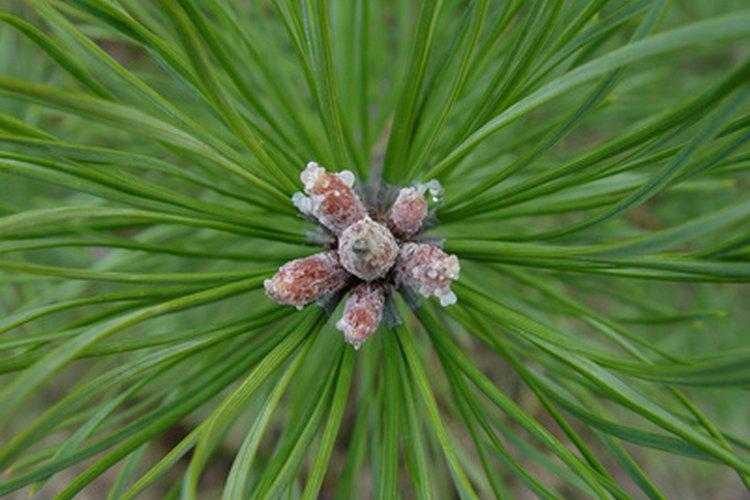 Las agujas de pino aportan materia orgánica al jardín.