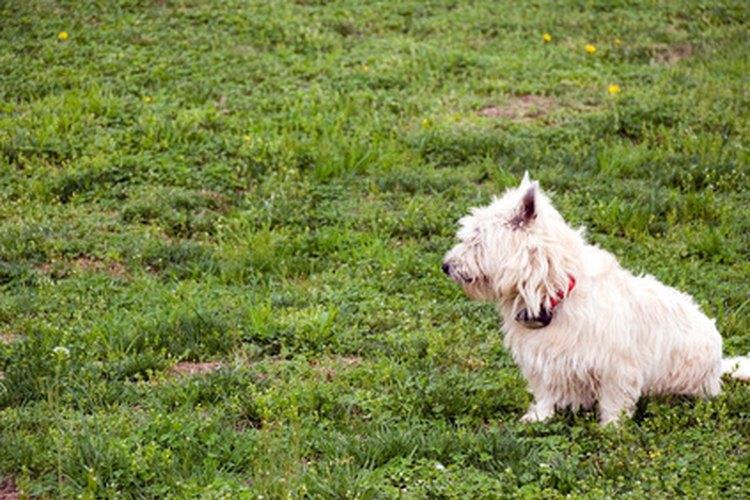 La alopecia X es una patología en la que el pelaje del perro se cae.