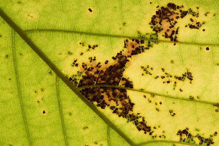 Las infecciones bacterianas en las plantas suelen producir legiones de manchas en las hojas.