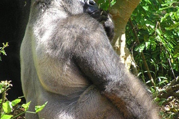 Gorila de espalda plateada.