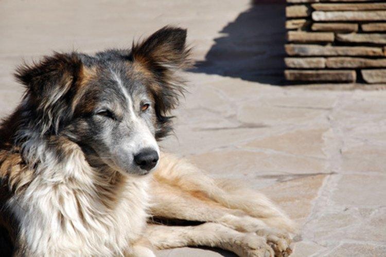 El vómito de espuma blanca en un perro puede tener implicaciones graves en la salud.