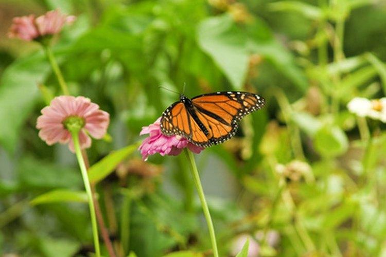 ¿Es este espécimen una mariposa monarca o una virrey?