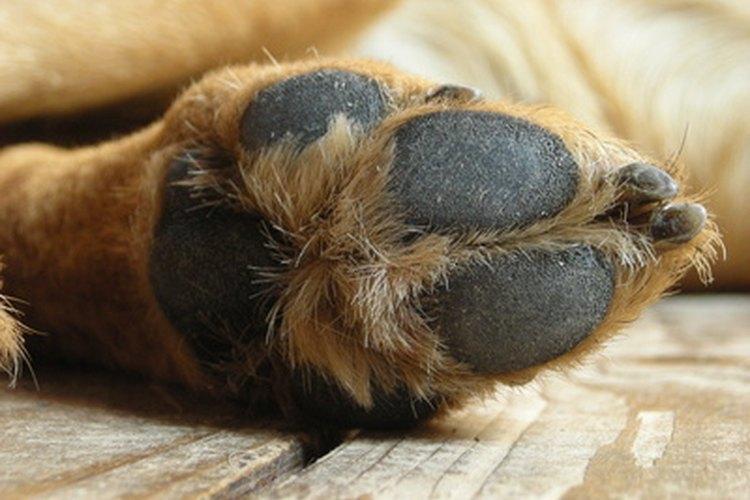 Las almohadillas de las patas pueden desarrollar infecciones fúngicas y bacterianas.