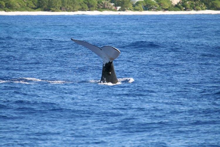 Muchas especies de ballena tiene su hogar en las aguas glaciales.