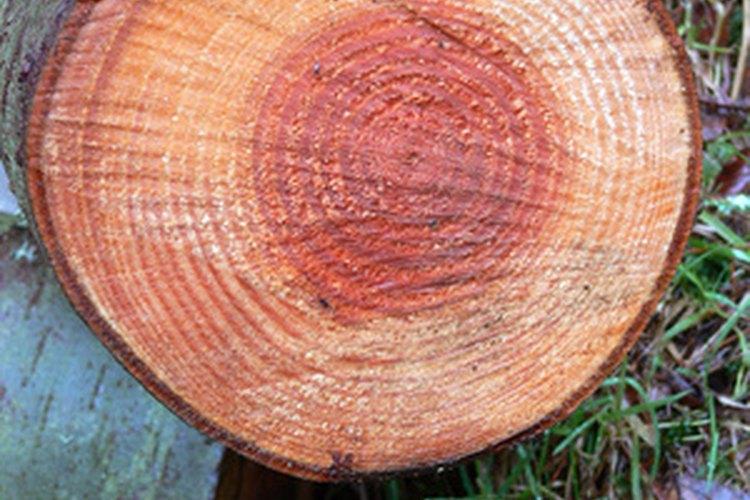 Los anillos de crecimiento de un árbol son pistas de su historia.