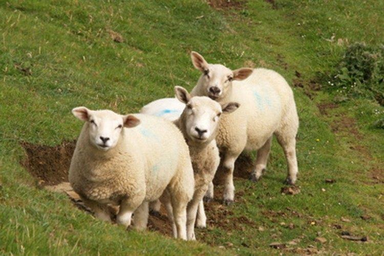La lana blanca a menudo se vuelve amarilla con el tiempo.
