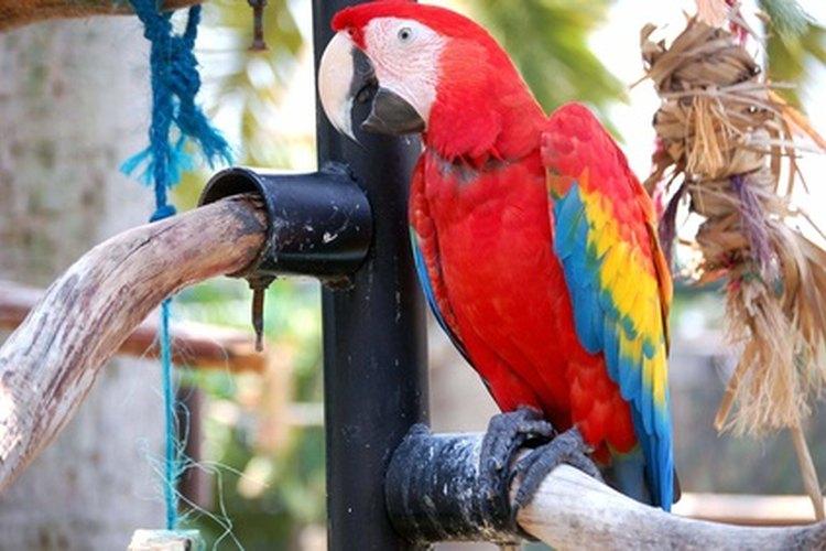 La guacamaya roja se captura para vender como mascota ilegal.