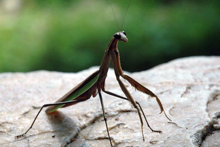 El cuerpo de una mantis religiosa consiste de partes especializadas.