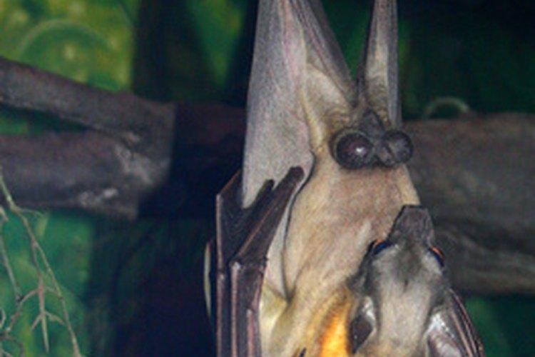 No tengas miedo! Necesitamos a los murciélagos para ayudarnos a proteger nuestro mundo natural.