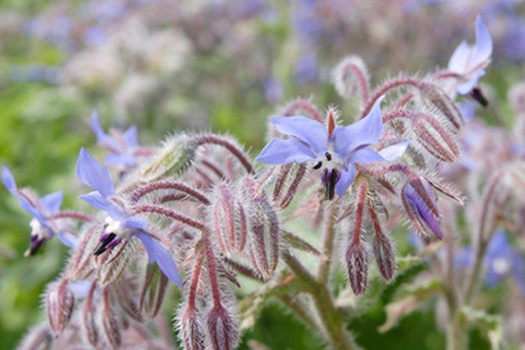 Planta hierbas como el eneldo y borraja, que sirven para atraer a las mariquitas.