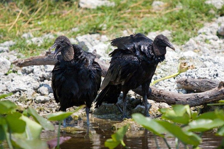 Aves carroñeras.