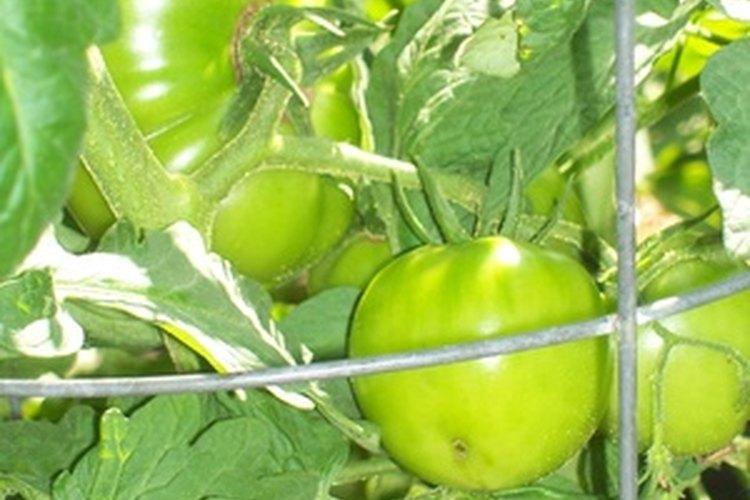 El fertilizante soluble en agua fomenta el crecimiento saludable de los tomates.