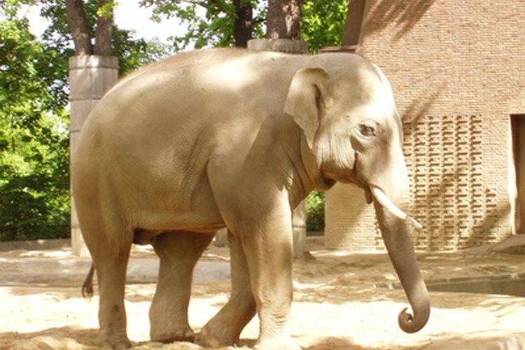 Los elefantes son los mamíferos más grandes sobre la tierra.