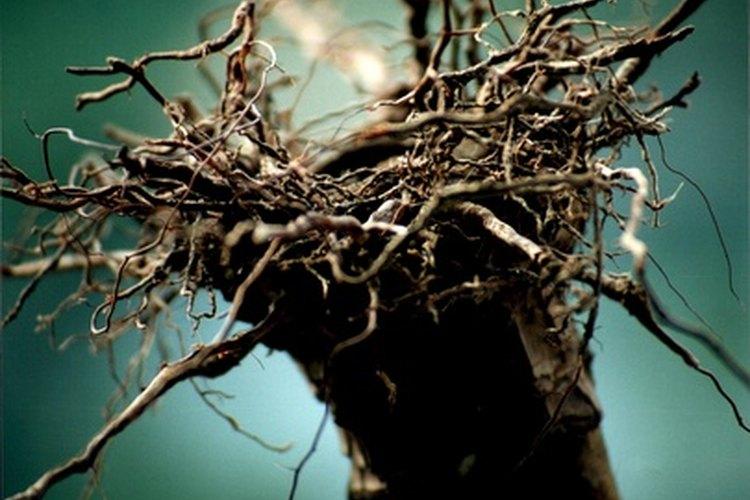Putrefacción de la raíz.
