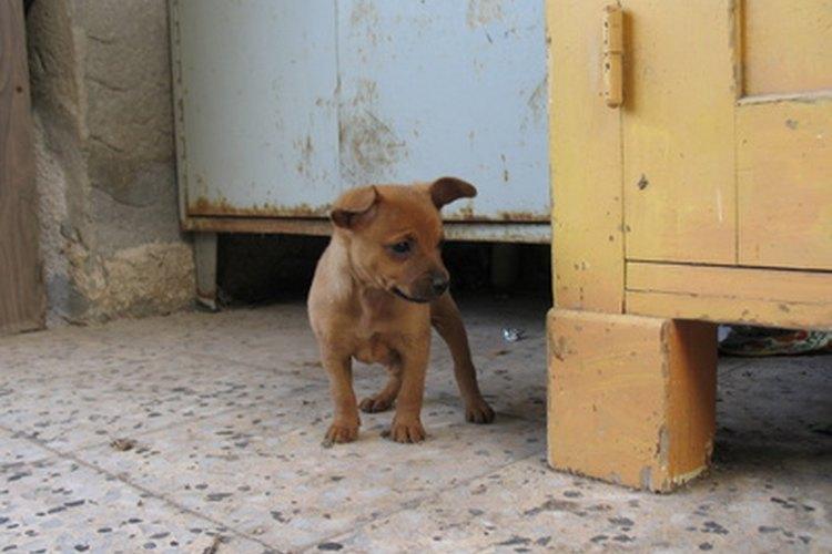 Las infecciones del tracto urinario en los cachorros son muy comunes. Una infección del tracto urinario puede dar lugar a exceso de orina y la incapacidad del cachorro para controlar dónde y cuándo orina.