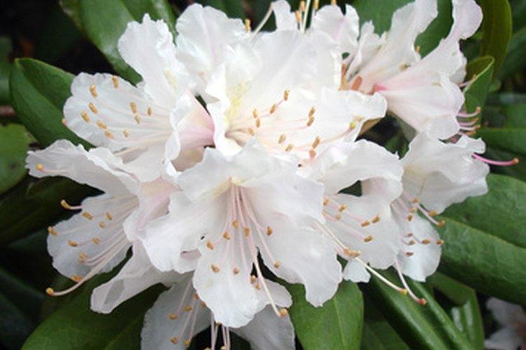 La adelfa es una flor venenosa.