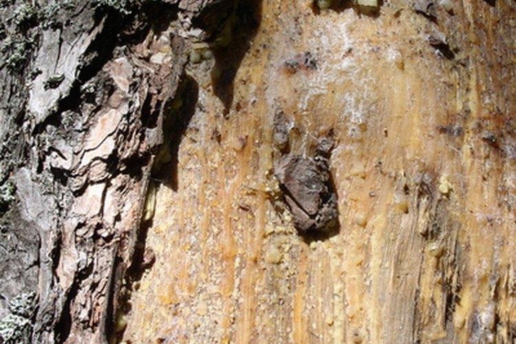 Los árboles de pino supuran resina que se fosiliza y se convierte en ámbar.