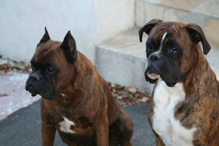 Algunas razas de perros tienen tasas de cáncer más altas.