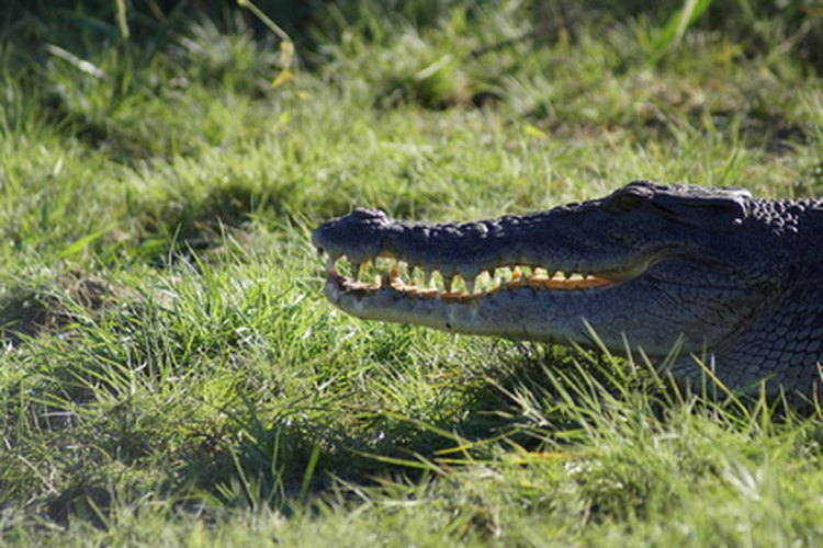 Un cocodrilo sobrevive cerca de un año sin alimentos.