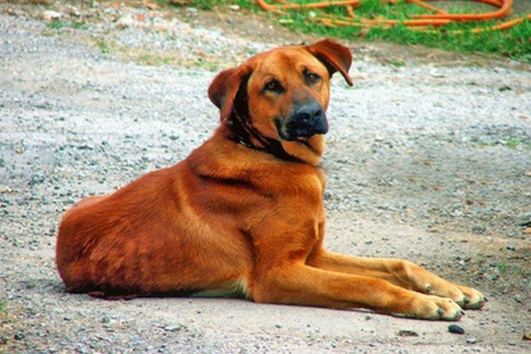 Los perros machos también tienen senos, pero rara vez padecen la mastitis.