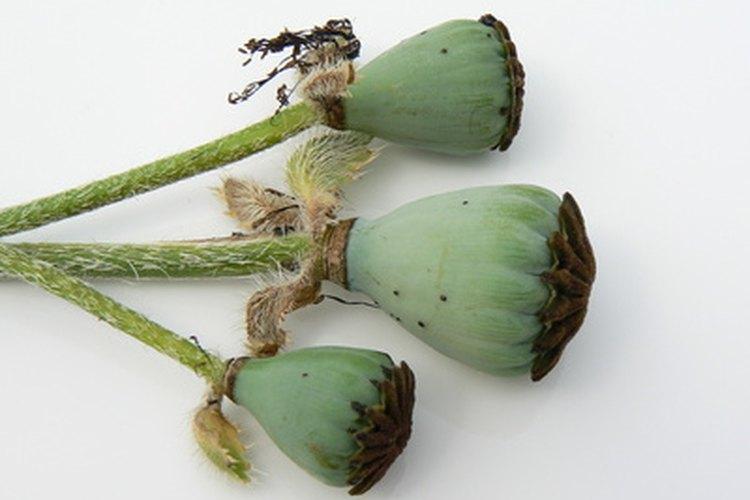 Las semillas de amapolla se utilizan para cocinar y para condimentar.