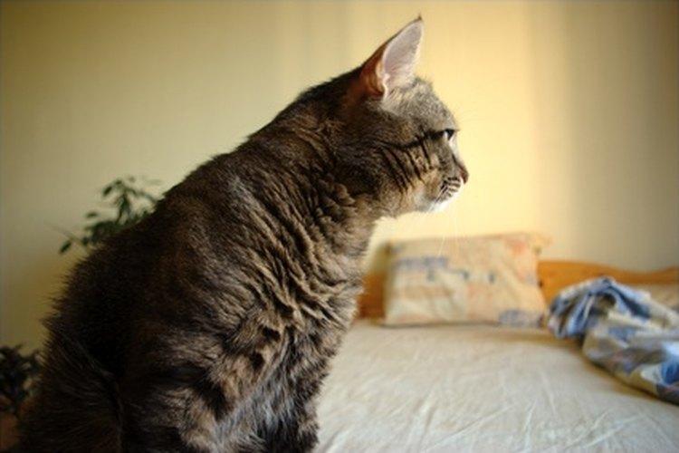 Los gatos se esconden debajo de las camas por una variedad de razones, incluyendo el juego.