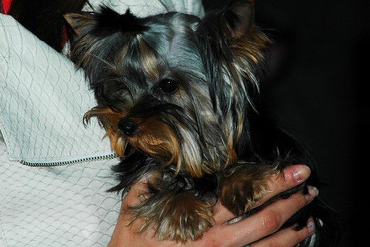 Debes estar atento a los síntomas de la neumonía en tu perro.