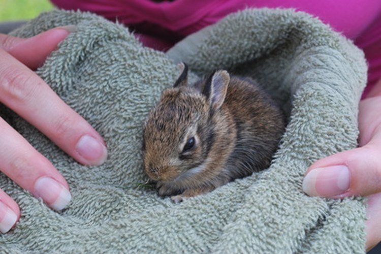 Los conejos silvestres bebés bien alimentados suelen dormir durante todo el día.