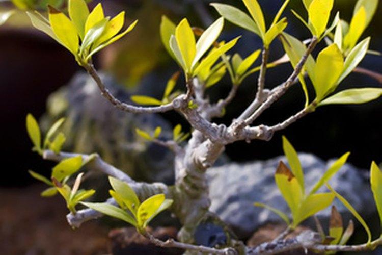 Los árboles de bonsai son símbolo de larga vida y salud.