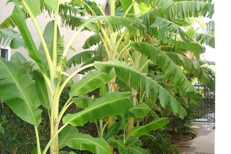 Sólo un árbol de plátano produce al mismo tiempo en cada mate.