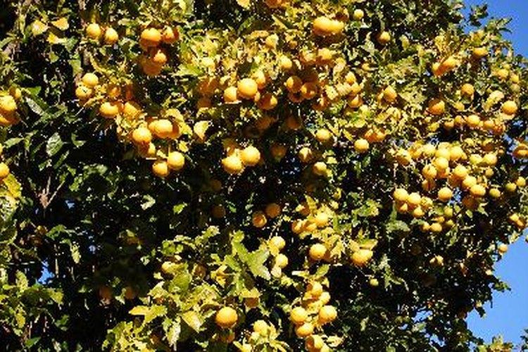 El ácaro es una de las plagas más comunes en lo árboles de naranjo.