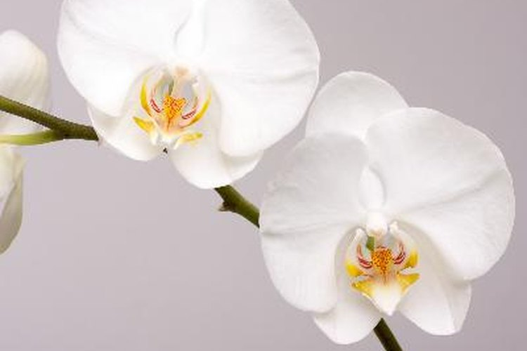 Las caras blancas de la phalaenopsis reflejan la luz de la luna para que las polillas que polinizan las vean.
