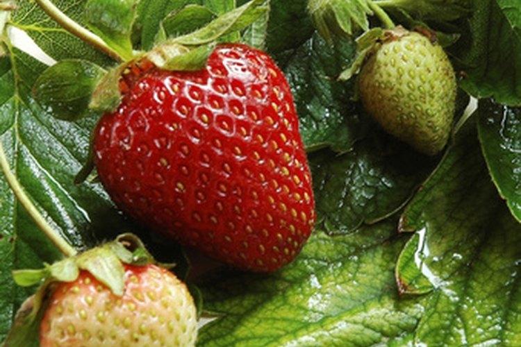 Las plantas de fresa son vulnerables al ataque de bacterias que provocan la mancha angular de las hojas.