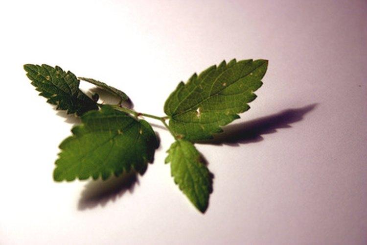 Las hojas de menta se pueden enrollar en papel para cigarrillos y fumarse.