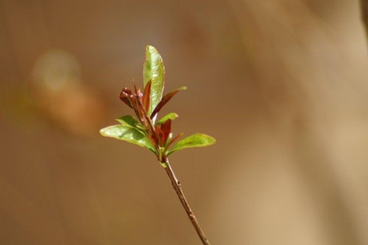 Los capullos de flores comienzan a formarse en el invierno.