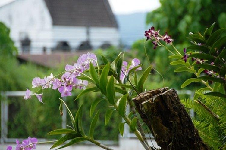 Las orquídeas dendrobium son amantes del sol y disfrutan de su lugar en los aféizares.