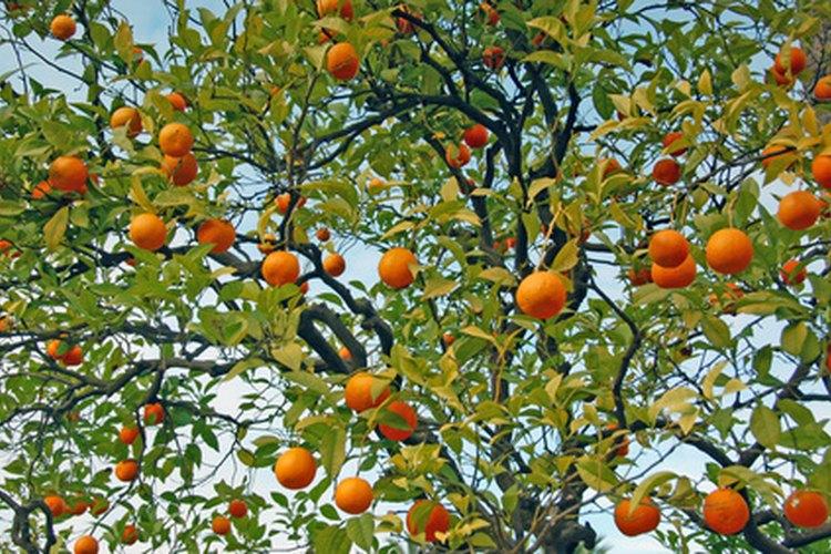 Los árboles de mandarina contienen los mismos componentes básicos de casi todos los árboles frutales.