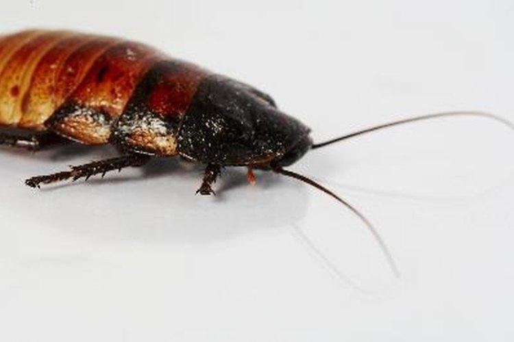 Las cucarachas son una molestia.