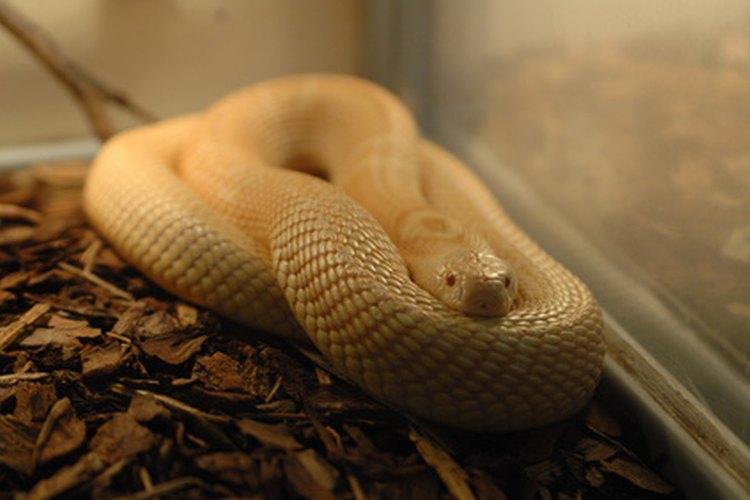 Las serpientes mascota pueden ser difíciles de encontrar en tu hogar una vez que se escapan.