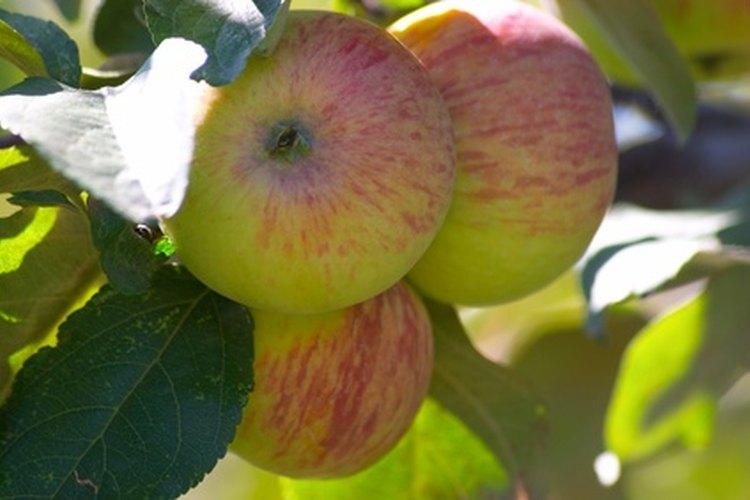 Los manzanos pueden cultivarse en patios pequeños, utilizando la técnica de espaldear.