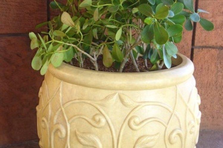 Las larvas de los mosquitos del hongo viven en tus plantas de interior.