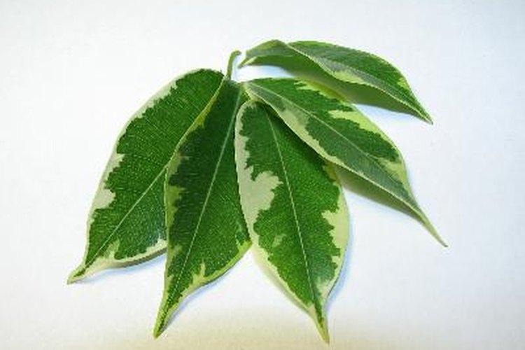El género ficus cuenta con más de 800 especies de plantas.