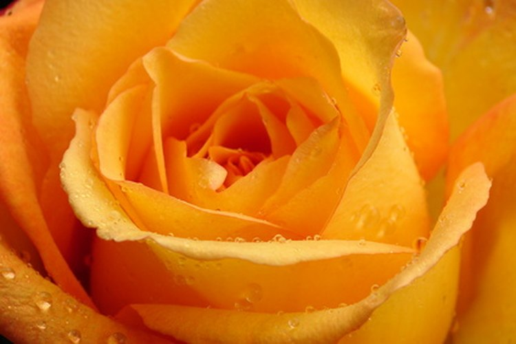 Rosa naranja.