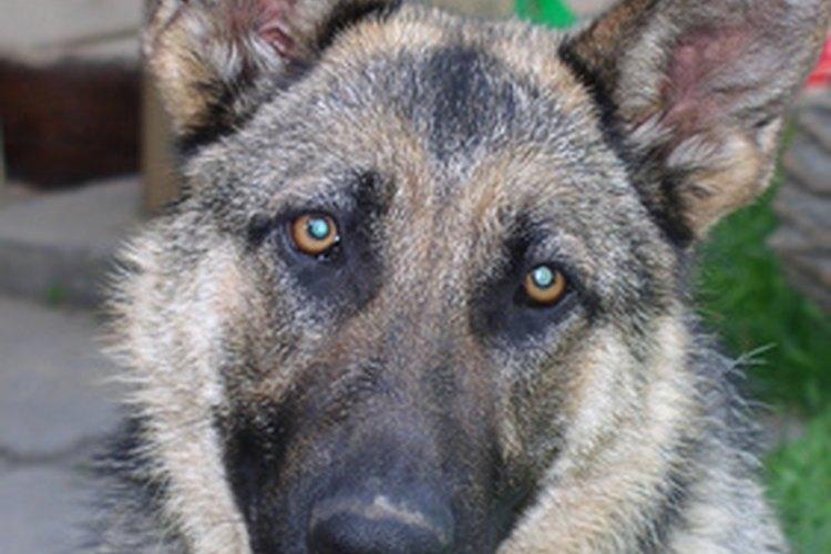 Las orejas largas del pastor alemán pueden ser un lugar ideal  para desarrollar una infección.